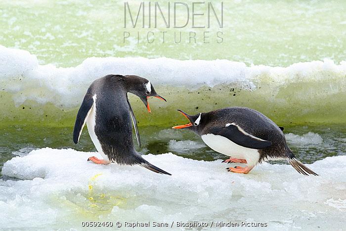 Gentoo Penguin (Pygoscelis papua) pair fighting, South Shetland Islands, Antarctica