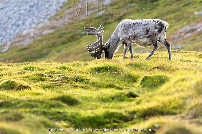 Svalbard Reindeer (Rangifer tarandus platyrhynchus) grazing in tundra, Svalbard, Norway