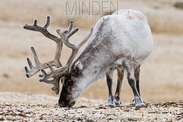 Svalbard Reindeer (Rangifer tarandus platyrhynchus) grazing on Common Bistort (Polygonum bistorta), Svalbard, Norway