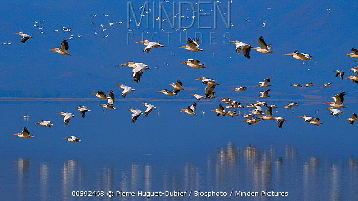 Great White Pelican (Pelecanus onocrotalus) groupl flying, Lake Kerkini, Greece