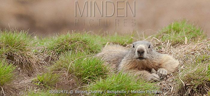 Alpine Marmot (Marmota marmota), Hautes-Alpes, France