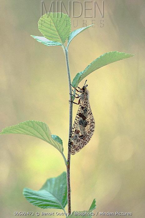 Antlion (Palpares libelluloides), Provence-Alpes, France