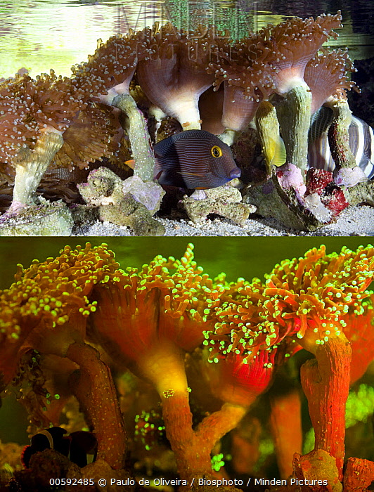 Euphyllia Coral (Euphyllia paradivisa), photographed with visible light and under UV light, Portugal