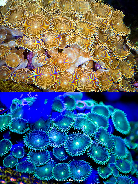 Zoanthid (Protopalythoa sp) polyp, photographed with visible light and under UV light, Portugal