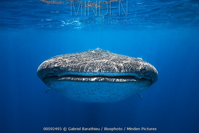 Whale Shark (Rhincodon typus), Nosy Be, Madagascar