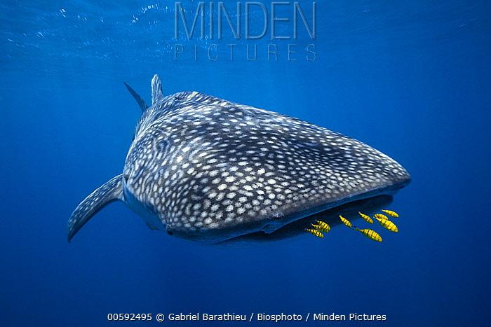 Whale Shark (Rhincodon typus) and Golden Trevally (Gnathanodon speciosus) group, Nosy Be, Madagascar