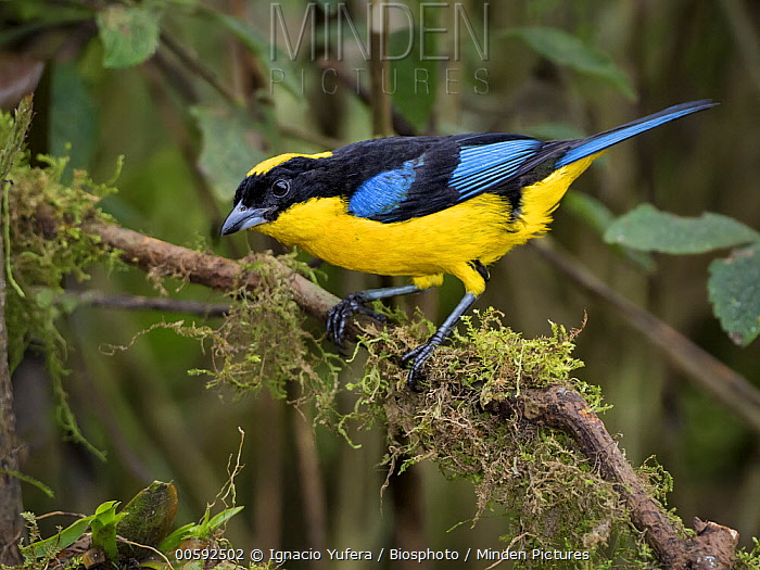 Blue-winged Mountain-Tanager (Anisognathus somptuosus), Colombia