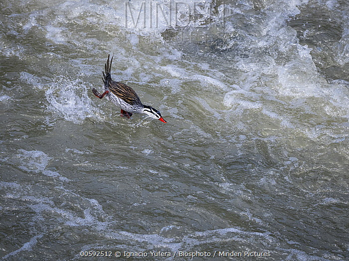 Torrent Duck (Merganetta armata) male diving into stream, Manizales, Colombia