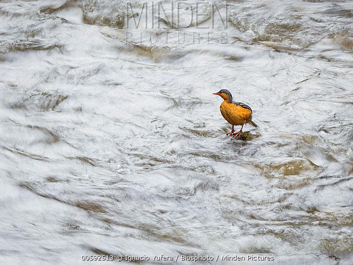 Torrent Duck (Merganetta armata) female, Colombia