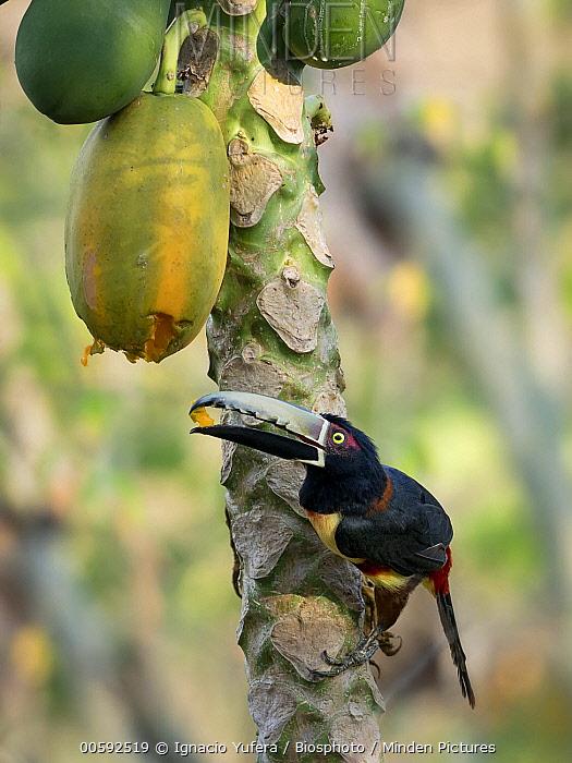 Collared Aracari (Pteroglossus torquatus) feeding on Papaya (Carica papaya) fruit, Antioquia, Colombia