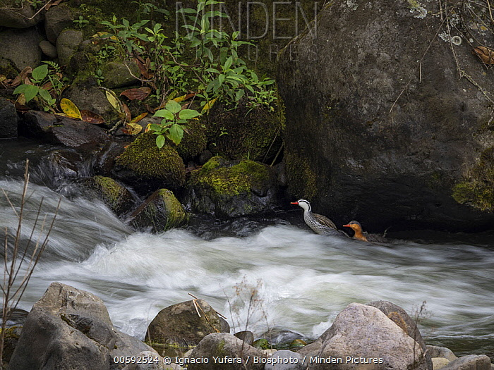 Torrent Duck (Merganetta armata) pair along river, Tolima, Colombia