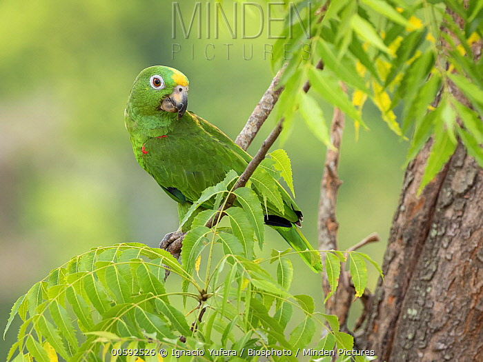 Yellow-crowned Parrot (Amazona ochrocephala), Antioquia, Colombia