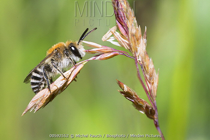 Plasterer Bee (Colletes marginatus), Ballons des Vosges Regional Nature Park, France