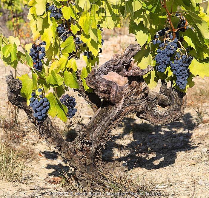 Grape (Vitis vinifera) clusters, Provence, France