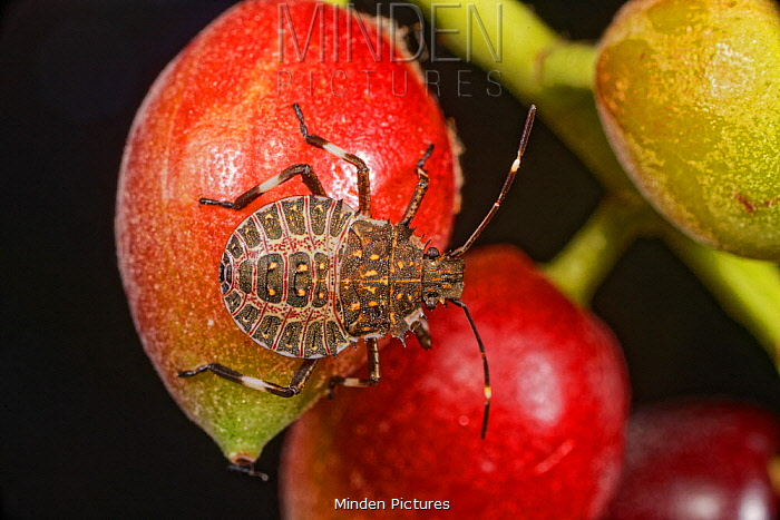 Brown Marmorated Stink Bug (Halyomorpha halys) fourth instar larva, Europe