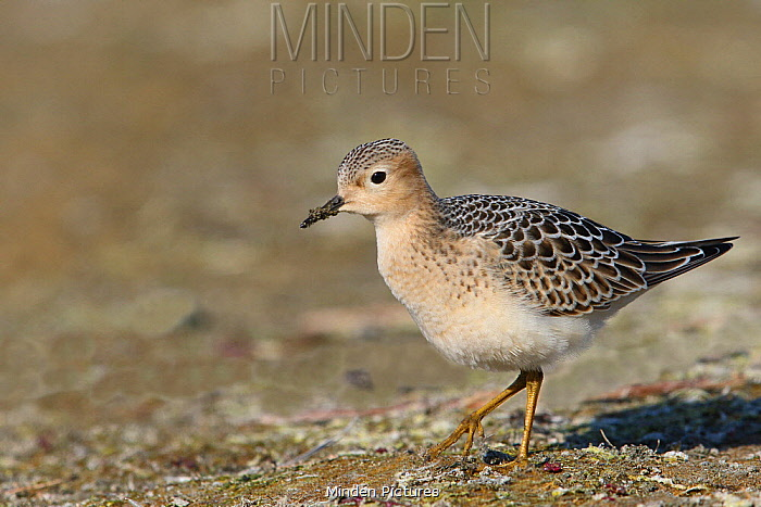 Buff-breasted Sandpiper (Tryngites subruficollis) juvenile, France