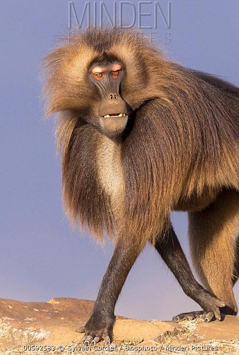 Gelada Baboon (Theropithecus gelada) dominant male, Debre Libanos, Rift Valley, Ethiopia