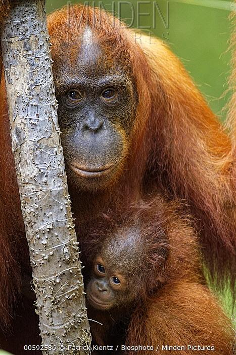 Orangutan (Pongo pygmaeus) mother and young, Tanjung Puting National Park, Kalimantan, Indonesia
