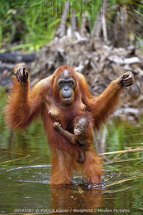 Orangutan (Pongo pygmaeus) mother and young crossing river, Tanjung Puting National Park, Kalimantan, Indonesia