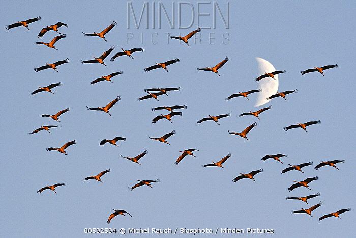 Common Crane (Grus grus) flock flying near moon, Champagne, France