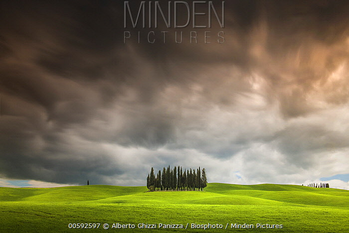 Italian Cypress (Cupressus sempervirens) trees during storm, Siena, Tuscany, Italy