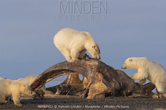 Polar Bear (Ursus maritimus) group feeding on whale carcass, Arctic National Wildlife Refuge, Alaska
