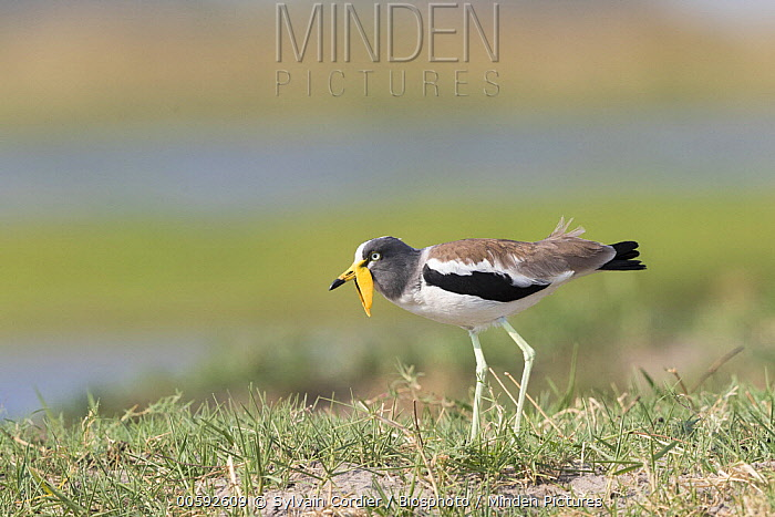 Wattled Lapwing (Vanellus senegallus), Chobe River, Chobe National Park, Bostwana