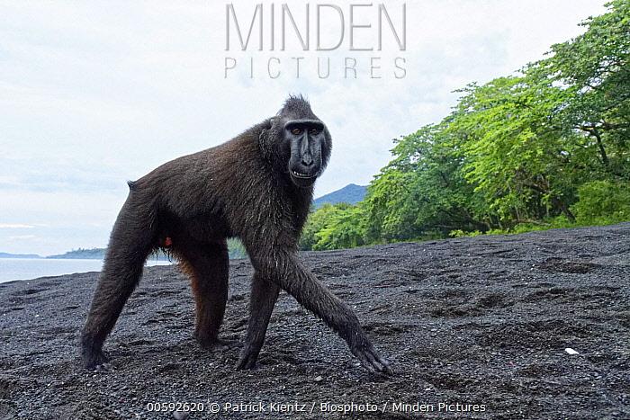 Celebes Black Macaque (Macaca nigra) on beach, Tangkoko-Duasaudara Nature Reserve, Sulawesi, Indonesia