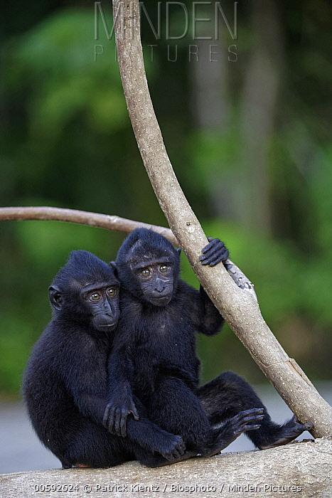Celebes Black Macaque (Macaca nigra) juveniles, Tangkoko-Duasaudara Nature Reserve, Sulawesi, Indonesia