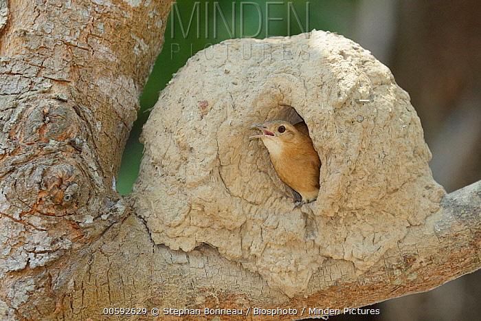 Rufous Hornero (Furnarius rufus) calling at nest cavity, Pantanal, Brazil