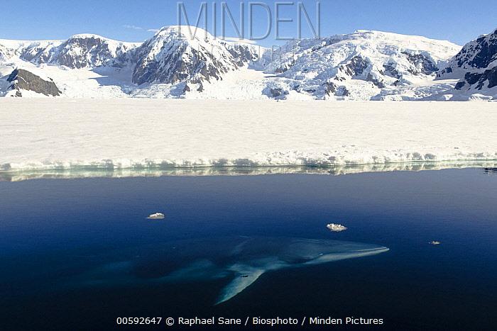 Antarctic Minke Whale (Balaenoptera bonaerensis) near coast, Wilhelmina Bay, Antarctic Peninsula, Antarctica