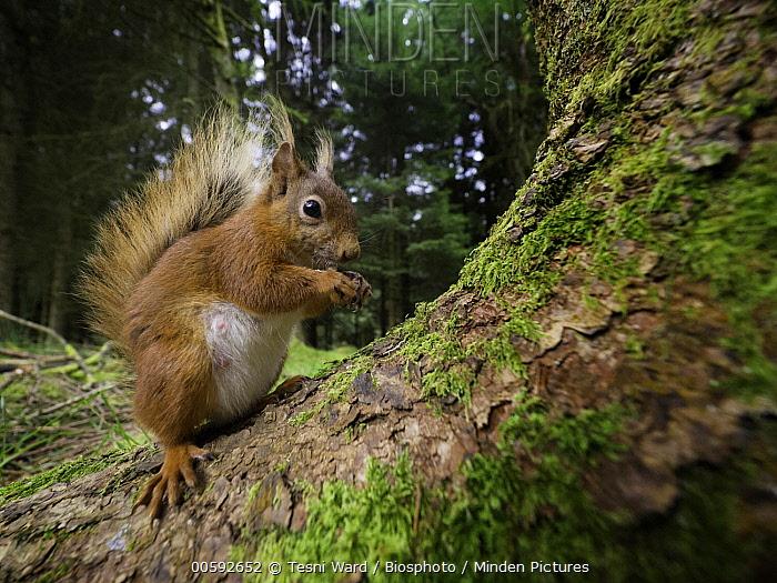 Eurasian Red Squirrel (Sciurus vulgaris) feeding on nut, Yorkshire, England, United Kingdom