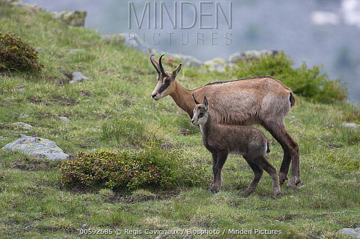 Chamois (Rupicapra rupicapra) mother and young, Mercantour National Park, France