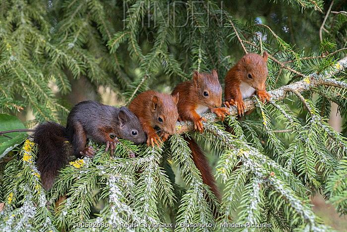 Eurasian Red Squirrel (Sciurus vulgaris) young, Lorraine, France