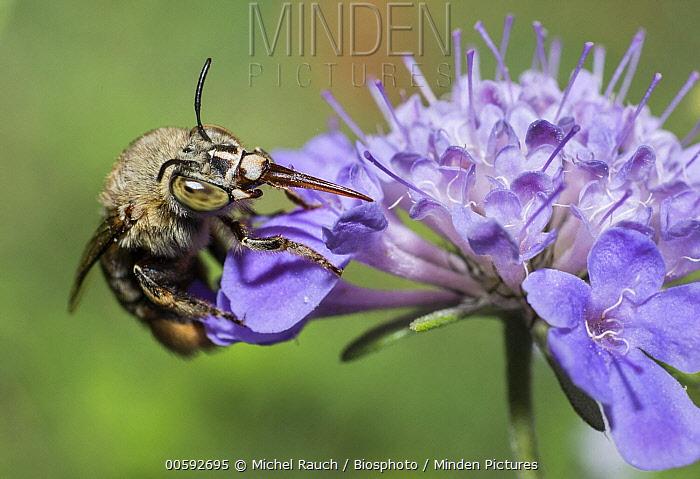 Digger Bee (Amegilla garrula) feeding on Knautia (Knautia sp) flower nectar, Mont Ventoux Biosphere Reserve, France