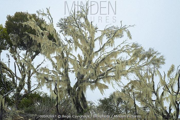 Lichen (Usnea barbata) on tree, Reunion Island, France