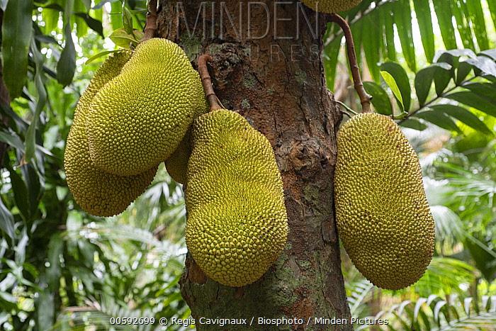 Jackfruit Plant (Artocarpus heterophyllus) fruit, Reunion Island, France