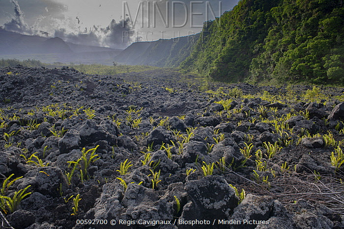 Fern (Nephrolepis abrupta) on lava, Reunion Island, France