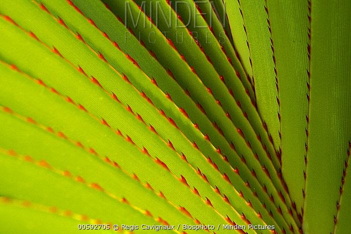 Screw Pine (Pandanus utilis) leaf detail, Reunion Island, France