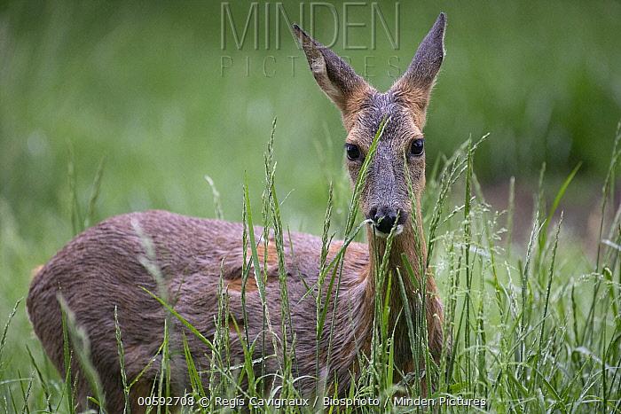 Western Roe Deer (Capreolus capreolus) female moulting, Lorraine, France