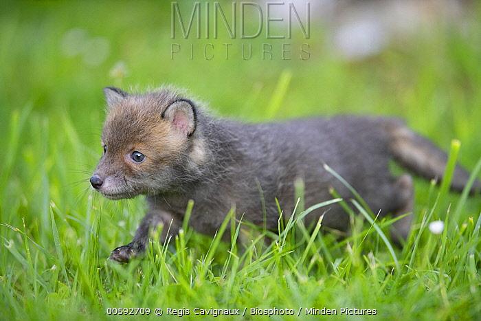 Red Fox (Vulpes vulpes) pup, Lorraine, France