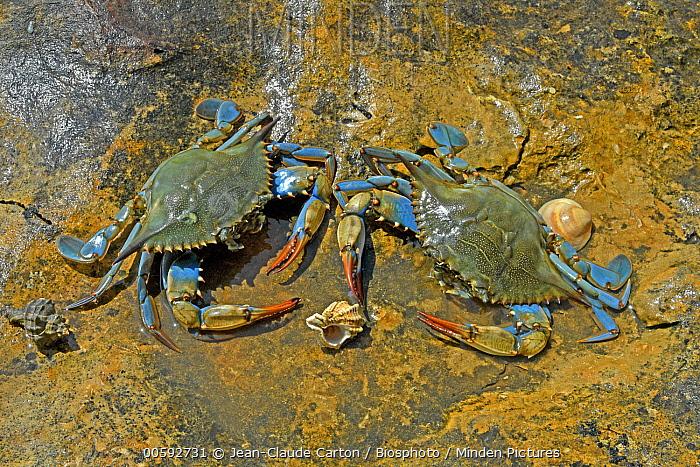 Swimming Crab (Callinectes sapidus) females at low tide in summer, Ebro Delta, Spain