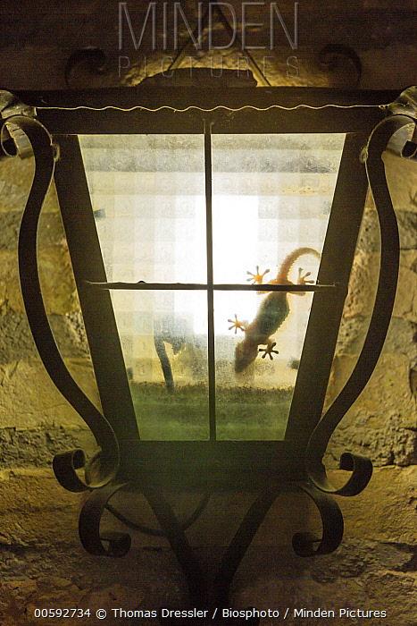 Mediterranean Gecko (Hemidactylus turcicus) in lamp at night, Catalonia, Spain