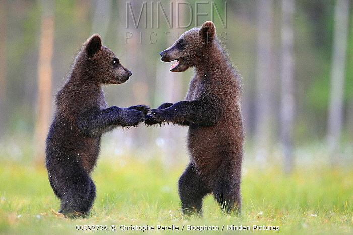 Brown Bear (Ursus arctos) cubs playing, Finland