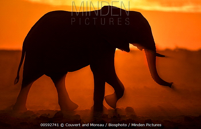 African Elephant (Loxodonta africana) at sunset, Nxai Pan National Park, Bostwana