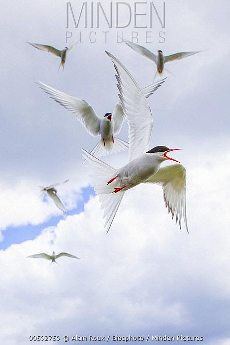 Arctic Tern (Sterna paradisaea) group flying in defensive display, Farne Islands, England, United Kingdom