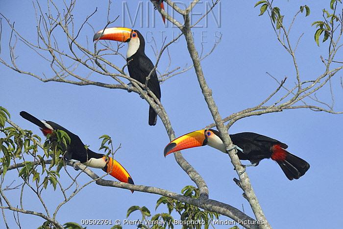 Toco Toucan (Ramphastos toco) trio, Pantanal, Brazil