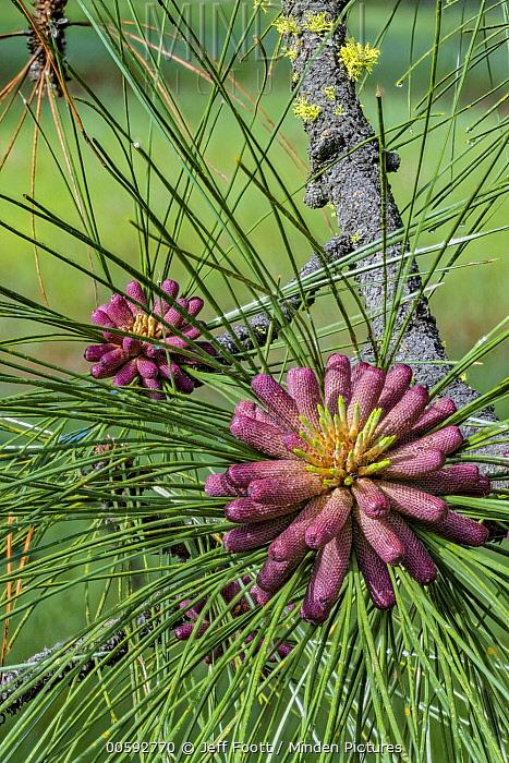 Jeffrey Pine (Pinus jeffreyi) female cones, Yosemite National Park, California