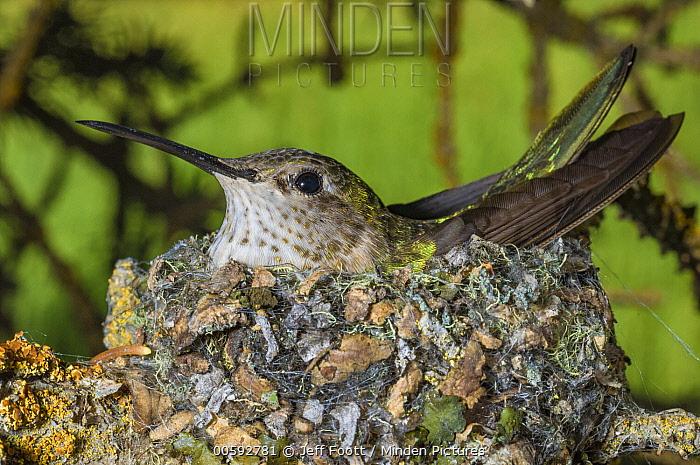 Broad-tailed Hummingbird (Selasphorus platycercus) on nest, Grand Teton National Park, Wyoming