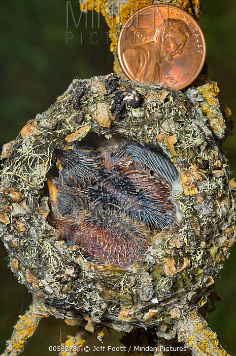 Broad-tailed Hummingbird (Selasphorus platycercus) chicks in nest, Grand Teton National Park, Wyoming